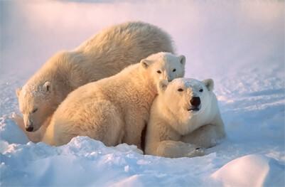 Bílý lední medvěd je ve skutečnosti černý!