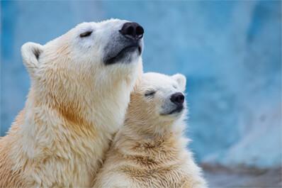 Lední medvědy izolují duté chlupy!